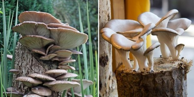 How To Grow Oyster Mushrooms At Home?